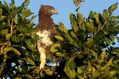 Martial Eagle (Polemaetus bellicosus). Looking right in Kruger National Park, South Africa royalty free stock image
