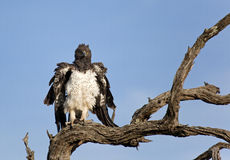 Martial Eagle. Martial Eagle, Polemaetus bellicosus, perched on a branch against a blue sky royalty free stock images