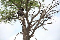 Martial Eagle. Polemaetus bellicosus in Zambia stock image