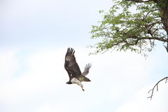 Martial Eagle. Polemaetus bellicosus in Zambia stock images