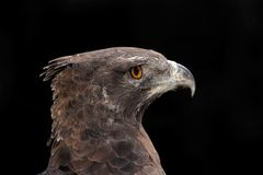 Martial eagle portrait. Portrait of a martial eagle (Polemaetus bellicosus), South Africa stock photos