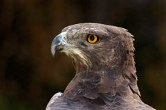 Martial eagle portrait. Portrait of a martial eagle (Polemaetus bellicosus), South Africa royalty free stock photo
