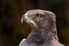 Martial eagle portrait Royalty Free Stock Photo