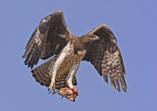 Martial Eagle with prey stock photography