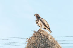 Martial eagle with prey on communal bird nest. A martial eagle, Polemaetus bellicosus, with prey on top of a communal bird nest, built on top a a royalty free stock image