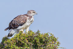Martial Eagle - Youngster. A young Martial Eagle, perched on top of an Acacia tree in Kenya's Olare Orok Conservancy.  It has not yet gained the spotted breast Stock Photo
