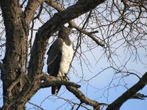 Martial Eagle. Martial reagle on the look out for prey Royalty Free Stock Image