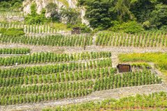 Martigny (Switzerland) - Vineyards Royalty Free Stock Photos