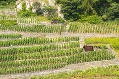 Martigny (Switzerland) - Vineyards. Martigny (Valais, Switzerland) - Vineyards at summer and huts royalty free stock photos