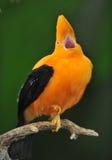 Martillo andino inusual del pájaro de la roca Imágenes de archivo libres de regalías