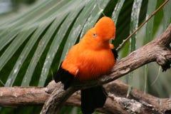 Martillo-de--roca andina (peruviana del Rupicola) Fotografía de archivo libre de regalías