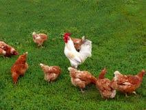 Martillo y gallinas Fotografía de archivo libre de regalías