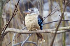 martin-chasseur Bleu-à ailes Photos libres de droits