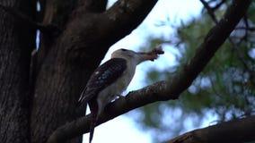 Martin-chasseur dans un arbre avec la nourriture le frappant contre la branche d'arbre banque de vidéos
