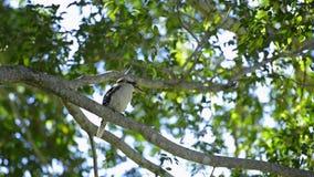 Martin-chasseur par lui-même dans un arbre banque de vidéos