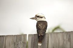 Martin-chasseur sur la barrière, oiseau australien Photographie stock libre de droits