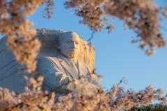 Martin Luther King Monument omgav vid körsbärsröda blomningar var in Royaltyfri Bild