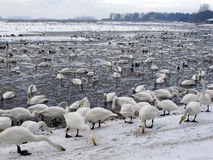 Free Martin Mere Wildfowl And Wetlands Trust Reserve Royalty Free Stock Photo - 33158265