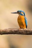 Martin-pêcheur Photos libres de droits