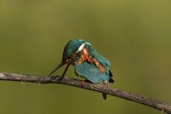 martin-pêcheur Photo libre de droits