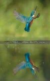 martin-pêcheur images stock