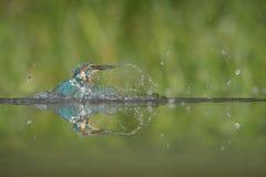 martin-pêcheur Image stock