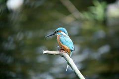 Martin-pêcheur. Photo stock