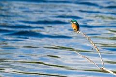 martin-pêcheur Image libre de droits