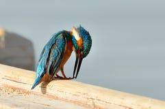 Martin-pêcheur (atthis d'alcedo) photos libres de droits