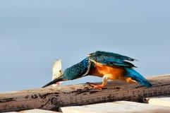 Martin-pêcheur (atthis d'alcedo) images libres de droits