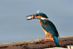 Martin-pêcheur (atthis d'alcedo) photos stock