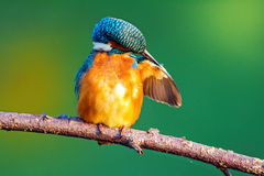 Martin-pêcheur (atthis d'Alcedo) Images stock