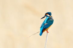 Martin-pêcheur (atthis d'alcedo) dans l'habitat naturel Photographie stock libre de droits