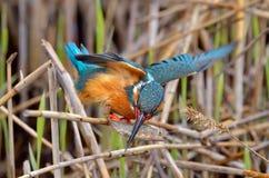 Martin-pêcheur (atthis d'alcedo) dans l'habitat naturel image stock