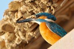 Martin-pêcheur (atthis d'alcedo) extérieur photos libres de droits