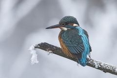 Martin-pêcheur, atthis d'Alcedo Un oiseau de plongée photos libres de droits