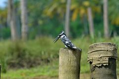 Martin-pêcheur au Kerala, Inde Photographie stock