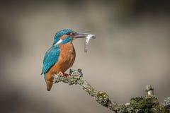 Martin-pêcheur avec le loquet photographie stock libre de droits