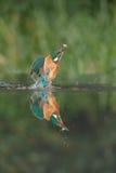 Martin-pêcheur avec le loquet images stock