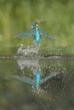 Martin-pêcheur avec le loquet images libres de droits