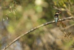 martin-pêcheur Brown-à capuchon Images stock