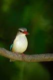 martin-pêcheur Brown-à capuchon, albiventris paisibles, détail de l'oiseau africain exotique se reposant sur la branche dans l'ha photos libres de droits