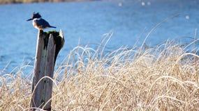 Martin-pêcheur ceinturé Photographie stock