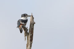 Martin-pêcheur ceinturé de femelle - la Floride Photographie stock libre de droits