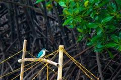 Martin-pêcheur colleté Photo libre de droits