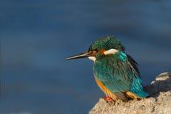 Martin-pêcheur commun Photo stock