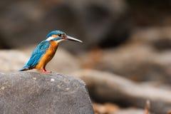 Martin-pêcheur commun se reposant Photos stock