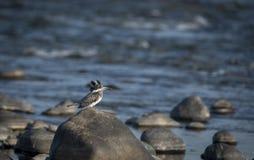 Martin-pêcheur crêté se reposant sur une pierre en rivière Image libre de droits