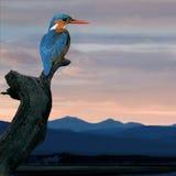 martin-pêcheur d'atthis d'alcedo Images libres de droits