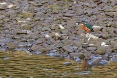 Martin-pêcheur dans son environnement Photo libre de droits